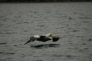 Braune Pelikane sind auch die einzige Pelikan-Art, die ihre Beute tauchend erbeutet. Dabei schiessen sie  von einer Höhe von etwa 10 Metern mit angelegten Flügeln ins Wasser. Der hier allerdings segelt bloss übers Meer