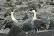 Die Balz der Galapagoalbatrosse ist sehr spektakulär. Es gehören dazu Schnabelklappern (hier auf dem Bild; es ist also kein Schreien), Schnabelfechten, Kopfhochwerfen, tänzelnde Schrittfolgen und verschiedene typische laute Balz-Rufe.