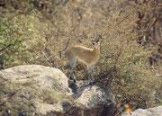 Der Klippspringer (Oreotragus oreotragus) ist mit einer Schulterhöhe von knapp 60 cm und einem Körpergewicht von 10–13 kg eine der zierlichsten afrikanischen Antilopen. Nur die männlichen Tiere haben Hörnchen. (Lake Manyara NP)