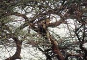 Dieser Leopard hatte sich zum Ruhen (und Verdauen) auf einen Baum zurückgezogen (Samburu)