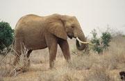 Elefantenbulle mit wunderbaren, kräftigen Stosszähnen (Tsavo East)
