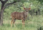 Ein Prachtsexemplar von einem Grossen Kudu-Bock (Tragelaphus strepsiceros). Er kann gut und gern 250 kg schwer sein. Weibchen und ihre Kälber sind oft in kleinen Gruppen, ältere Bullen führen ein eher einzelgängerisches Leben in hügeligem Gelände.