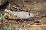 Wie auch diese Brillentaube (Streptopelia decipiens) (Samburu)