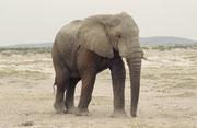 Der grösste Elefantenbulle, der uns je begegnet ist. Ich schätze die Schulterhöhe dieses alten, kräftigen Tieres auf etwa 4,5  Meter. Er überragte die erwachsenen Elefantenkühe in der Herde um ca. einen Meter (Amboseli)