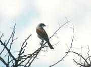 """Der Rotrückenwürger (Lanius collurio) oder """"Neuntöter"""", ein Langstreckenzieher, der in der westlichen Paläarktis (inkl. Schweiz) brütet, und im südlichen Teil Afrikas überwintert, wobei das Überwinterungsgebiet sich bis in den N und E Südafrikas erstreckt"""