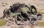 Jede Pflanze bekommt i.d.R. nur ein Blattpaar. Die Blätter breiten sich auf dem Boden aus und werden ungefähr 2,50 m (Max. bis zu 6m) lang. Die Blätter fransen aufgrund des Windes und anderer Einflüsse aus. Dieses Exemplar soll etwa 2000 Jahre alt sein.