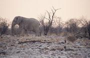 """Abendstimmung bei der Wasserstelle """"Kalkheuvel"""". Majestätisch schritt dieser riesige Elefantenbulle lautlos aus den Büschen zum Wasser. Seine Haut ist so weiss, weil er sich mit der hellen, trockenen Erde der Etosha bewirft."""