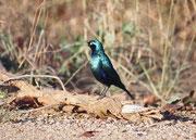 """Bei diesem wunderbar metallisch schillernden Vogel dürfte es sich um den Grünschwanzglanzstar (""""Greater blue-eared Glossy Starling"""") (Lamprotornis chalybaeus) handeln. Es gibt im Krüger Park nämlich noch den Rotschulter- und den Schwarzbauch Glanzstar."""