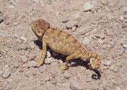 Auf der Schotterstrasse entdeckten wir dieses Wüstenchamaeleon (Chamaeleo namaquensis). Da es auf dem Boden und nicht in den Büschen jagt, hat es keinen langen Greifschwanz, sondern nur einen kurzen Stummelschwanz und bewegt sich recht behende.