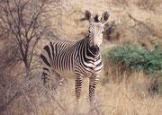 """Das prächtige Bergzebra ist gekennzeichnet durch breite schwarze Streifen und schmale weisse Zwischenräume (das ganze Tier wirkt insgesamt dunkel). Die """"Schattenstreifen"""" des Steppenzebras fehlen. Die Beine sind von oben bis unten gestreift."""