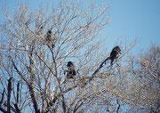 """Begrüsst wurden wir am Eingang des Resorts """"Barnabe de la Bat"""" von gar seltsamen """"Vögeln"""" in den Baumkronen. Es handelte sich natürlich um Bärenpaviane (Papio ursinus), welche dort genüsslich irgendwelche Früchte oder Knospen verzehrten. (Waterberg NP)"""