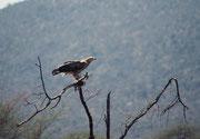 """Hier handelt es sich wahrscheinlich um einen Raubadler, engl. """"Tawny Eagle"""" (Aqula rapax). Er bewohnt überwiegend trockene Landschaften mit lockerem Baumbestand und ernährt sich von kleineren Wirbeltieren, Insekten und auch regelmäßig von Aas. (Samburu)"""