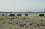 Es war schon fantastisch, diesen 8 Breitmaulnashörnern zu begegnen. Interessant war, dass es sich nicht nur um Kühe (mit einem Kalb) gehandelt hat, sondern dass auch mindestens ein grosser, kräftiger Bulle dabei war, der sogar mit dem Kalb gespielt hat.