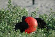 Bei der Balz sitzen die Männchen auf Ästen und zeigen mit lautem Geschrei den aufgeblähten Kehlsack. Sie signalisieren damit dem Weibchen, ob, bzw. dass es sich hier um einen gesunden kräftigen und vitalen zukünftigen Partner handelt.