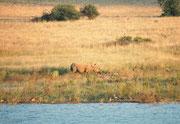 Von einem Beobachtungsversteck am Mankwe Stausee, sahen wir am Gegenufer – vermutlich - ein Breitmaulnashorn (Cerathoterium simum). (Breitmaulnashörner tragen den Kopf üblicherweise etwas tiefer geneigt, als Spitzmaulnashörner).