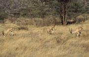Grant Gazellenböcke (Nanger granti) (Samburu)