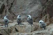 Von den in Kolonien brütenden Tölpeln weiss man, dass sie nicht nur in der Lage sind, ihre Partner und ihre Jungen an der Stimme zu erkennen, sondern auch die in unmittelbarer Nachbarschaft brütenden Vögel zu identifizieren (pro m2 sind es 1,5 Paare).