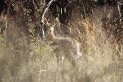 Im Reservat leben rund 70 Säugetierarten, darunter auch der Bergriedbock (Redunca fulvorufula), hier ein Weibchen. Die grasfressenden Bergriedböcke sind auf gebirgiges oder hügeliges Gelände beschränkt und benötigen die Nähe offener Gewässer.
