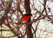 Trotz allem haben wir im Nylsfley Nature Reserve auch einige interessante Vögel gesehen, wie diesen wunderschönen Rotbauchwürger (Laniarius atrococcineus). Er lebt in Buschsavannen und lichten Mopanewäldern. Die Nahrung besteht hauptsächlich aus Insekten.