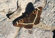 Ein wunderschöner Schmetterling (Art?) gehörte auch zu den Tieren im Fort Namutoni.