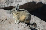 Eigentlich erinnern Viscachas jedoch eher an Kaninchen. Ihr Lebensraum sind trockene, felsige Bergregionen mit wenig Vegetation in Höhen bis zu 5000 Metern. Nach einer kalten Nacht geniessen die herzigen Tiere die Strahlen der wärmenden Morgensonne.