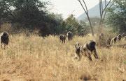 Eine Gruppe von Bärenpavianen (Papio ursinus) sucht sich im trockenen Gras ihr Frühstück (Samburu)