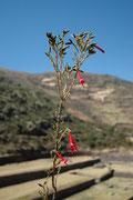 Die Cantuta (Cantuta buxifolia) war die heilige Blume der Inkas und ist heute die Nationalblume Perus. Die Pflanze aus der Familie der Sperrkrautgewächse wächst in Höhenlagen zwischen 1200 und 3800 m. Sie blüht das ganze Jahr.