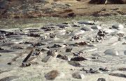 Im Serengeti Hippopool herrschte bei unserem Besuch sichtlich Wassermangel und die vielen Flusspferde (Hippopotamus amphibius) drängten sich im letzten Rest des schlammigen Wassers zusammen.
