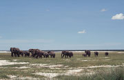 Am letzten Tag im Etosha NP, sahen wir plötzlich bei Namutoni eine Elefantenherde. Sie bewegte sich - angeführt von der alten, erfahrenen Leitkuh - auf Wasserstellen zu. Die erste Wasserstelle enthielt nur noch nassen Schlamm worauf die Herde weiter zog.
