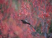 Beim Camp Punda Maria sind Sträucher mit roten Blüten (Art ?), die offensichtlich für Nektarvögel - hier den Weissbauch-Nektarvogel (Cinnyris talatala) - sehr attraktiv sind. Nektarvögel sind ökologisch gesehen die Gegenstücke der amerikanischen Kolibris.