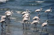 Und hier eine Gruppe junger Flamingos, sehr wahrscheinlich Rosaflamingos (Phoenicopterus roseus).