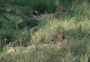 Zwei Geparde bei der Mittagssiesta, die im Masai Mara NP allerdings oft durch Touristen gestört wird, wenn sich der Siestaplatz zu nahe an einer Strasse befindet.