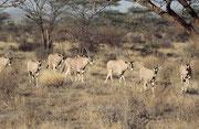 Ostafrikanische Oryx oder Beisa Antilope (Oryx beisa) (Samburu)