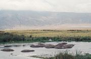 Im Ngorongoro NP gibt es erstaunlicherweise recht viele Flusspferde. Im Hintergrund durchqueren Massais traditionsgemäss mit ihren Kuhherden den Krater. So können Krankheiten von den Hausrindern auf die wilden Huftiere übertragen werden.