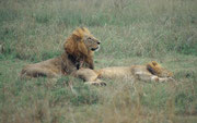 Erstaunlich im Nairobi NP die hohe Löwendichte. Auch diese trug natürlich zum Rückgang der Huftierpopulationen im Park bei, vor allem wenn diese Huftiere praktisch im Park gefangen und vom umliegenden Land abgetrennt waren.