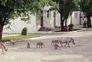 Heute dient das Gebäude – eine ehemalige Polizeistation - als Touristenunterkunft. Man muss bei einem solchen Ort in Mitte eines Nationalparks mit recht ungewohnten Gästen rechnen, wie dieser Familie von Warzenschweinen (Phacochoerus africanus).
