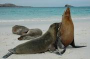 """Galapagos-Seelöwen (Zalophus wollebaeki), Gardner Bay (Espanola). Ihr trockenes Fell kann hell- oder goldbraune Farbtöne aufweisen. Wenn es nass ist glänzt es schwarz. (Im Hintergrund unser Schiff, die """"Spondylus"""")."""