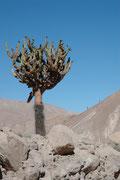 Ein schönes Exemplar einer Kandelaberkaktee (Browningia candelaris). Die Art kommt an den Berghängen der Anden im Norden von Chile und im Süden von Peru auf einer Höhe von 1800 – 2800 m vor.
