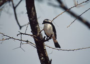 Schwarzstirnwürger (Lanius minor), ein Vogel, dessen Brutgebiet vom östlichen Mitteleuropa bis zur Mongolei reicht. Er zieht dann ins südliche Afrika in sein Überwinterungsgebiet (Serengeti NP)
