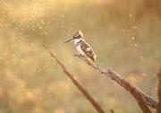 Ein Graufischer (Ceryle rudis) – ein Standvogel - nutzt das goldene Abendlicht um noch ein paar Fische zu jagen. Sein Gefieder ist schwarz-weiss. Er kann von einer Warte auf Beute lauern, oder, wie hier, im Rüttelflug über dem Wasser nach Fischen suchen.