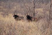 Der Waterberg NP beherbergt auch mehrere Rappenantilopen (Hippotragus niger).