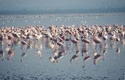 Zwei Arten von Flamingos gibt es im Lake Nakuru NP: Mehrheitlich den Zwergflamingo (Phoenicopterus minor) und auch den Rosaflamingo (Phoenicopterus roseus)