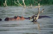 Das Flusspferd gilt ebenfalls als eines der gefährlichsten Wildtiere Afrikas. Wir fürchteten, dass plötzlich ein solches Tier neben oder unter unserem Boot auftauchen und uns angreifen könnte. Zum Glück verhielten sich diese Hippos friedlich.(Lake Baringo