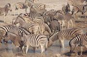 Wenn sich die Zebras sicher fühlen, wagen sie sich allerdings sogar etwas ins Wasser hinein und nehmen ein kühlendes Bad. Allerdings kühlen sie sich nur etwas die Beine ab. Wir haben nie gesehen, dass sich ein Zebra ins Wasser gelegt hätte.