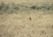 In der Mittagshitze entdeckten wir plötzlich im Gras neben der Strasse diesen Löwenkopf mit der mächtigen Mähne und hielten an, um zu beobachten, was weiter geschehen würde.