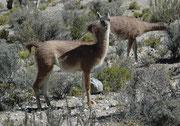 Guanakos sind etwa120 cm gross (Schulterhöhe) und ca. 100 kg schwer. Im Gegensatz zu den Lamas, sind sie einheitlich gefärbt. Guanacos bilden Familienverbände, die aus einem männlichen Leithengst, mehreren ausgewachsenen Weibchen und deren Jungen bestehen