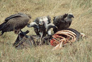 Die Geierschar räumt jeweils rasch mit dem auf, was die Löwen, die Hyänen und die Schakale zurücklassen