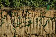 Immer mehr grüne Papageien flogen heran, kletterten an der Lehmwand herum und begannen den Lehm abzunagen. Offenbar nehmen sie mit dem Lehm Mineralien auf, um ihren Mineralienbedarf, den sie mit der üblichen Nahrung nicht abdecken können, zu decken.