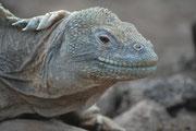 Galapagos-Landleguane können 50 - 60 Jahre alt werden. Ihre Morphologie und Färbung variiert zwischen den verschiedenen Inselpolulationen. Die Gesamtpopulation wird auf 5000 bis 10'000 Tiere geschätzt.