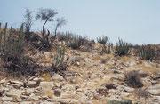 Nicht Arven und Alpenblumen, sondern diverse Kakteenarten begleiteten uns in dieser afrikanischen Berglandschaft.